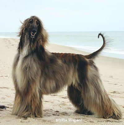 Regimes Picasso Of Keystone - AHI Afghan Hound Pedigree database