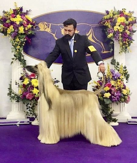 Soukistan French Paradox - AHI Afghan Hound Pedigree database